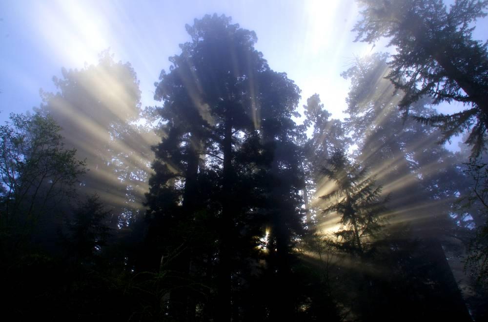 The Majestic Redwood Giants