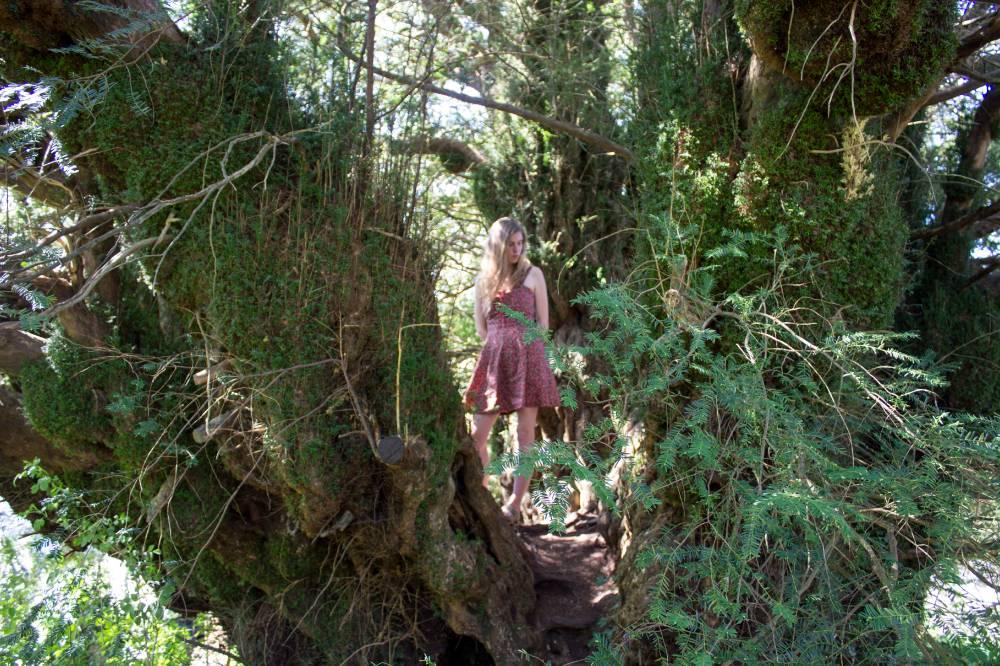 5000-aastane jugapuu