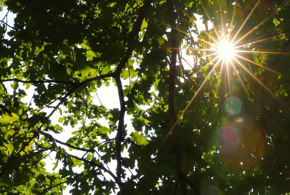 Дуб в лучах солнца