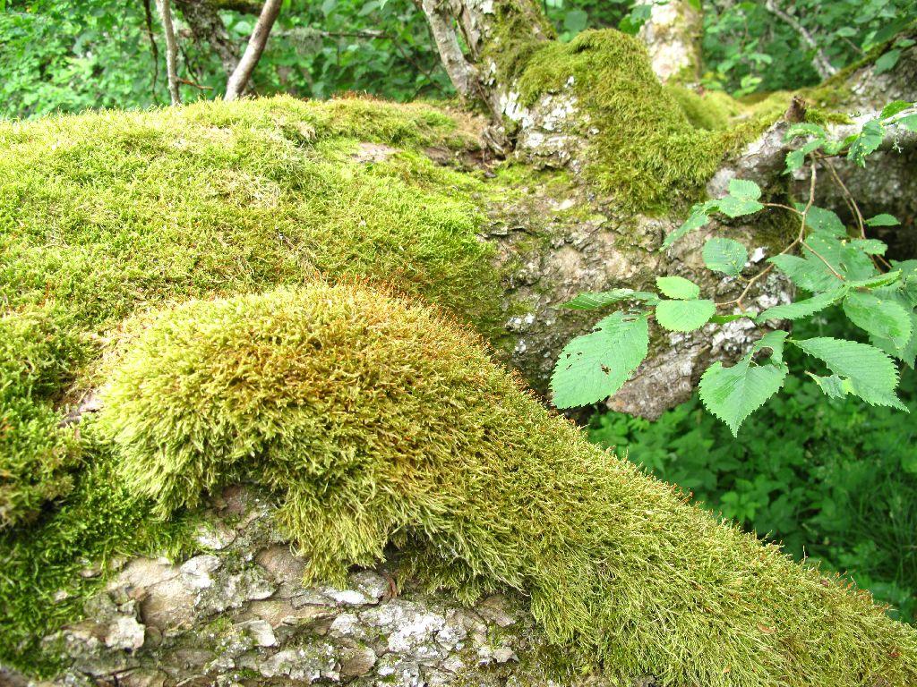 Samblatekk langenud pühal puul