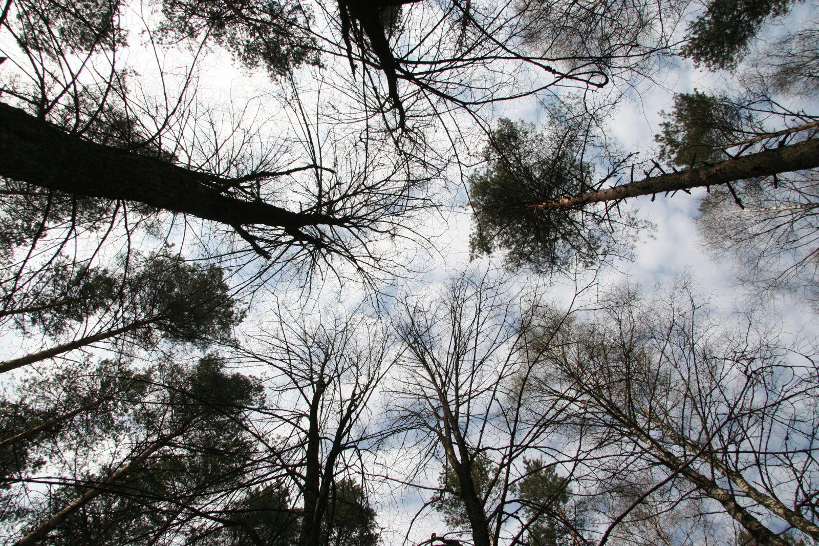 Hiiepuud