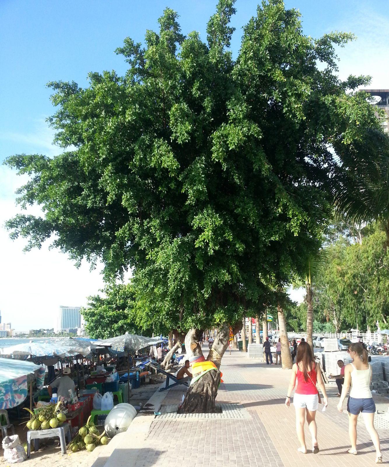 Püha puu rannas