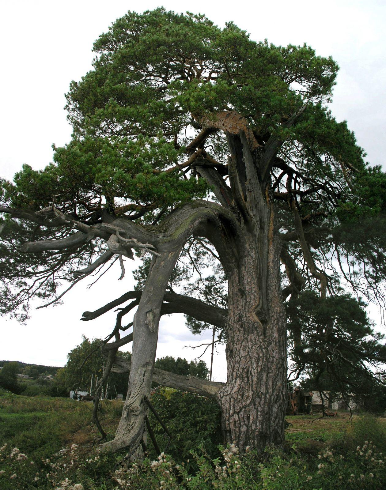 Священная сосна/ Sacred pine
