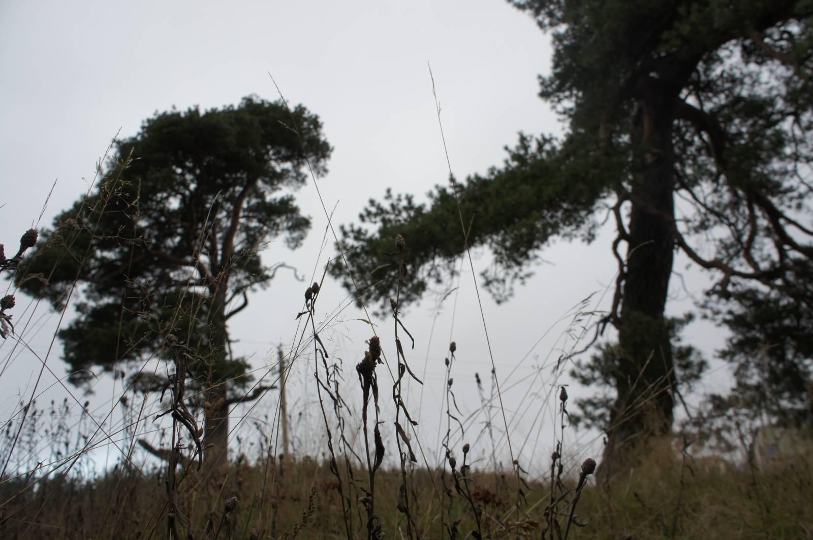 Pyhäpuut