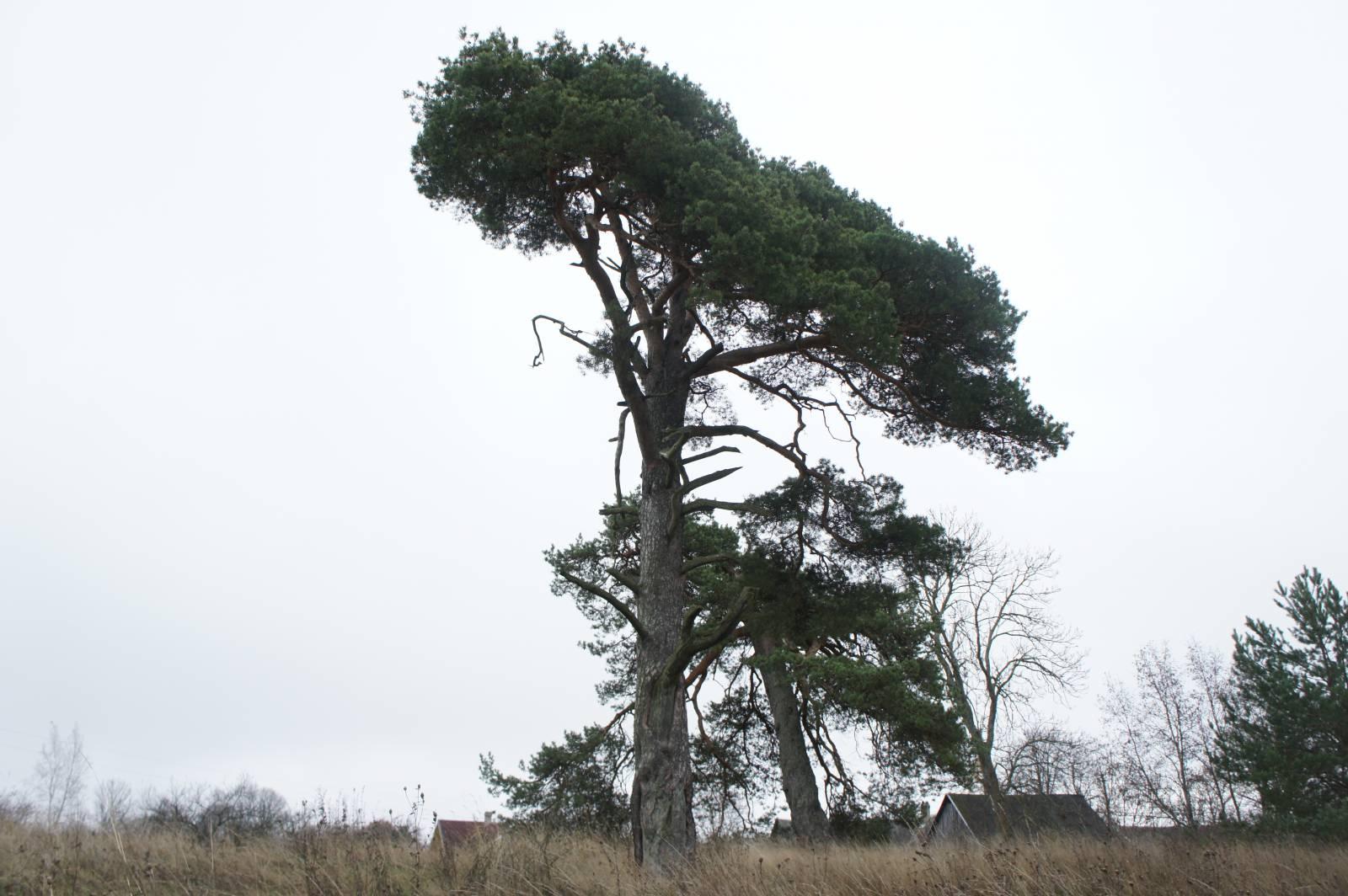 Pyhäpuu