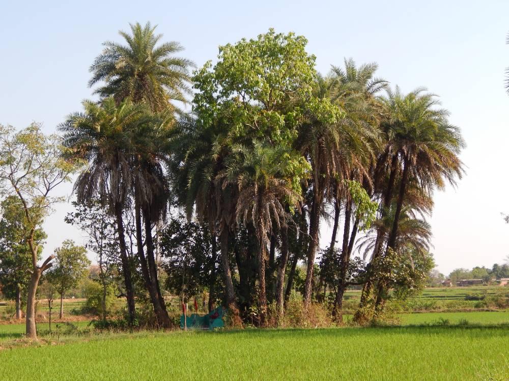 A traditional sacred grove of Bargarh district Odisha