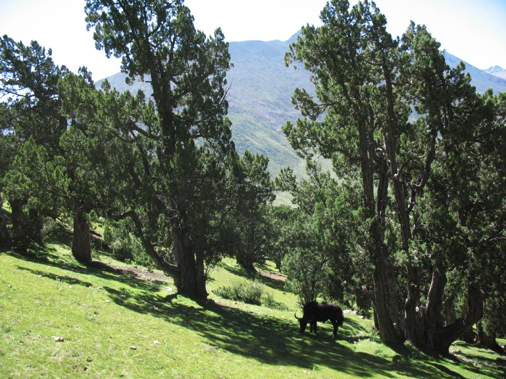 Yak grazing on the golf-lawn-like sedge turf (Kobresia pygmaea dominant) is supposed to be the main factor of missing juniper regeneration.Open forest near the monastery, 4250 m.