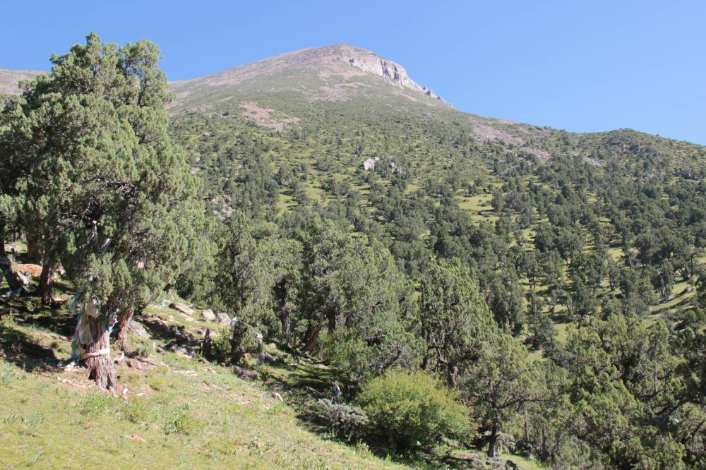 View from a slope shoulder at 4400m up-slope towards the treeline (4750 m) and the sacred 5200m-peak. The tree in the foreground left is decorated with prayer flags and kathags.