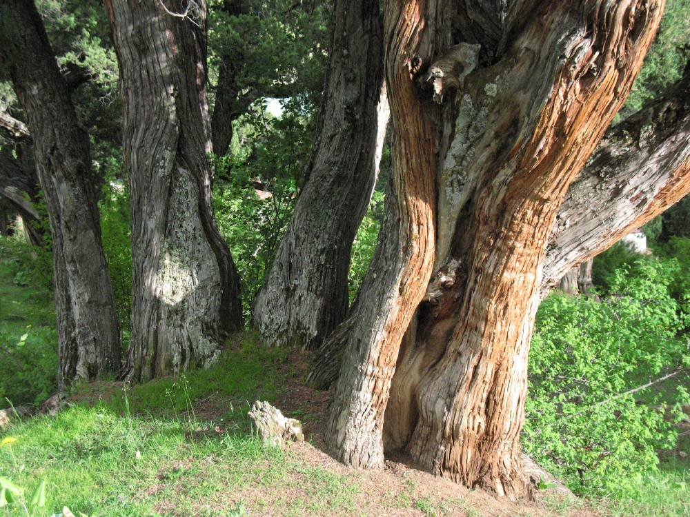 Pain of the sacred grove: trunks of an old multi-stemmed tree, showing the stripping-off of the bark for incense production.