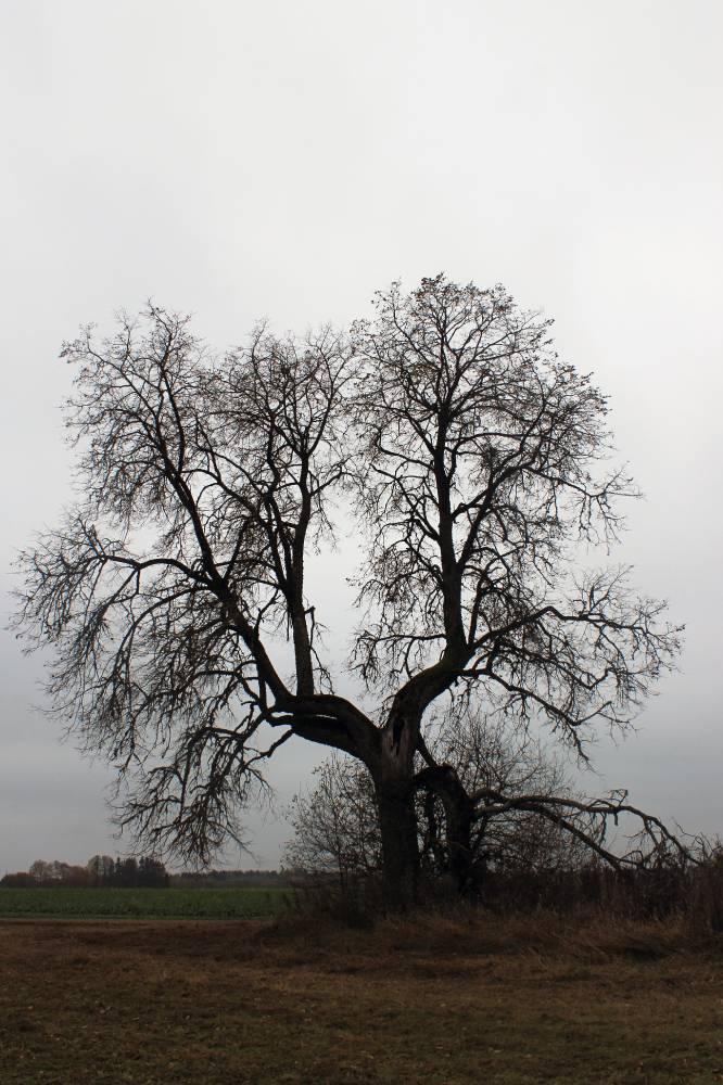 Rõstla-Pöndi hiiepärn