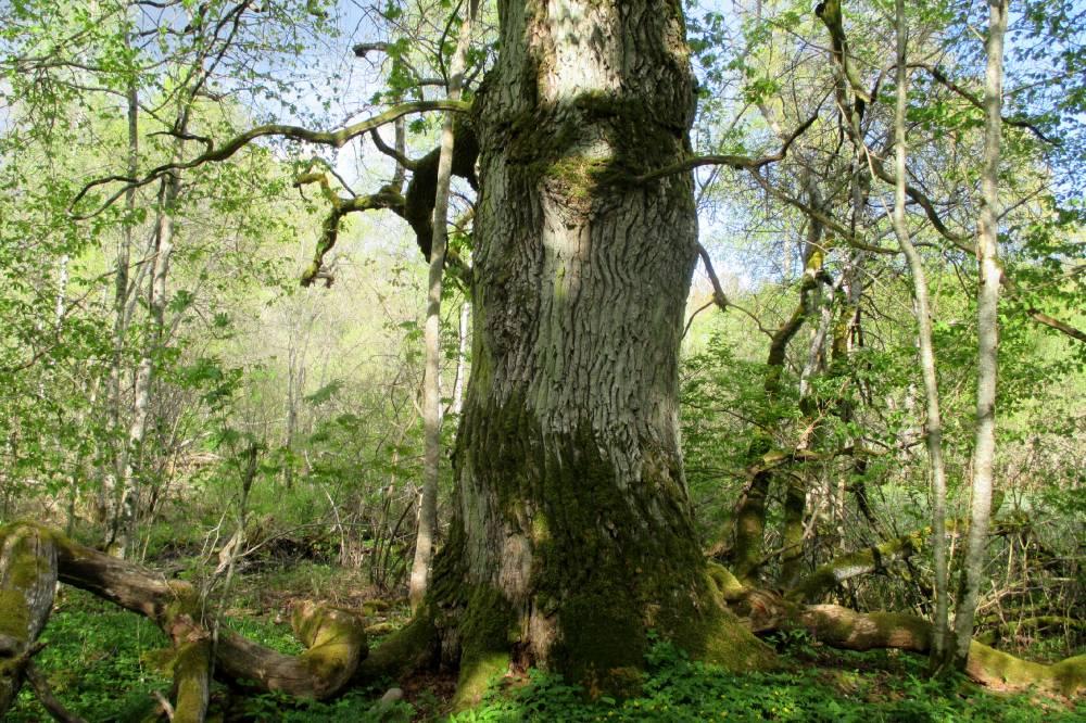 Kõljala Püha metsa tammevana
