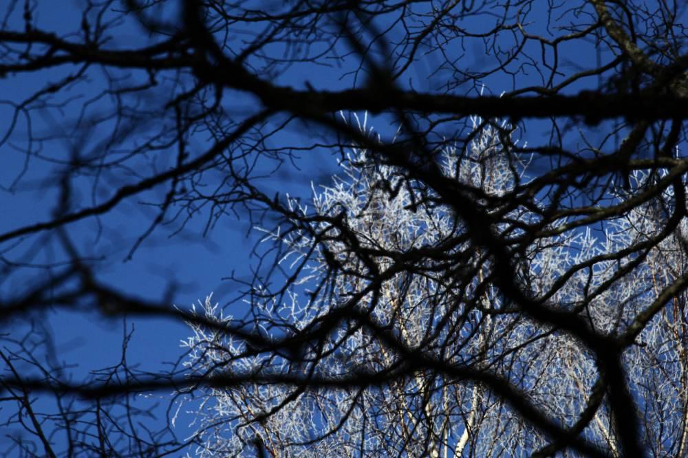 Sinine taevas läbi Karkuse jalaka okste