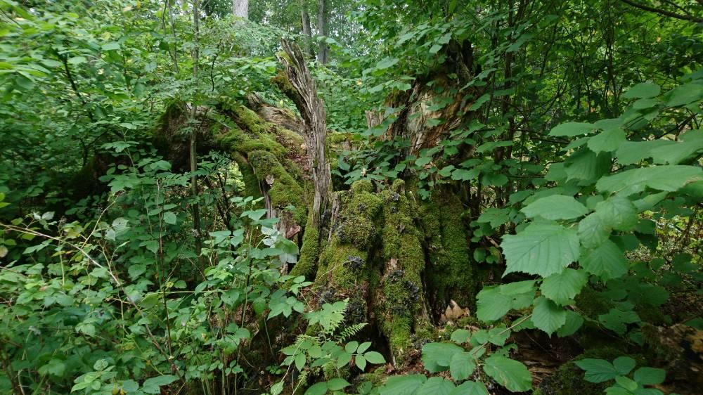 Püha puu kaob oma loomulikku rada