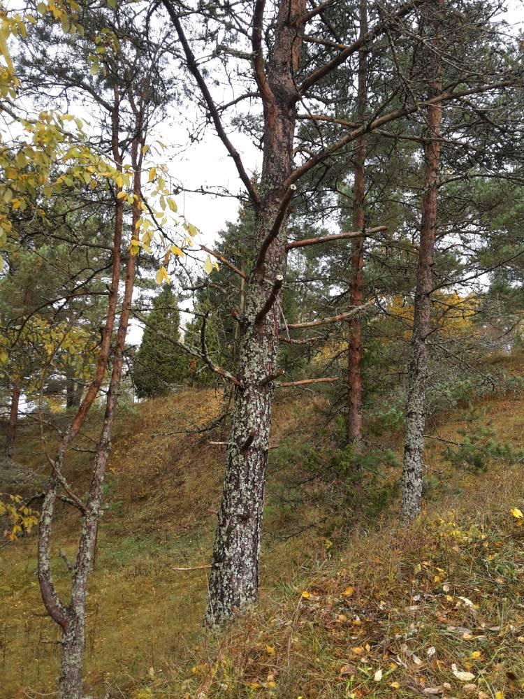 Puu, millelt on saetud alumisi oksi