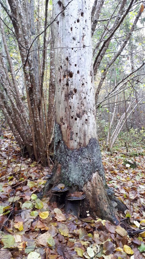Rähni toksitud puu hiiemäel.