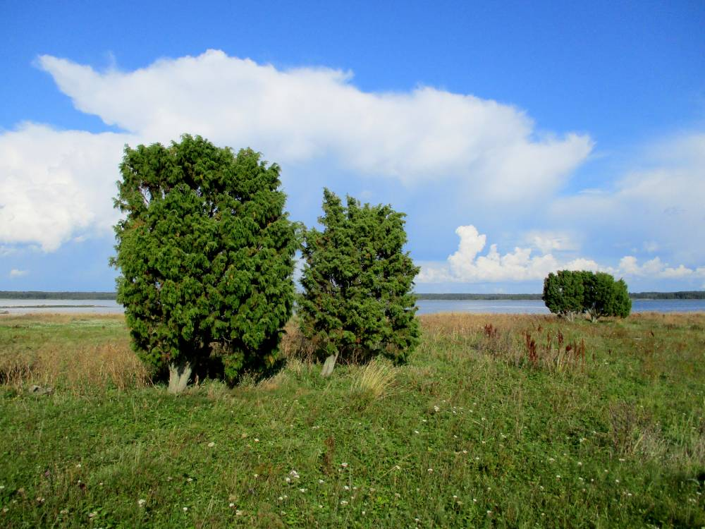 põlised kadakapuud valvamas püha saare lõunakallast