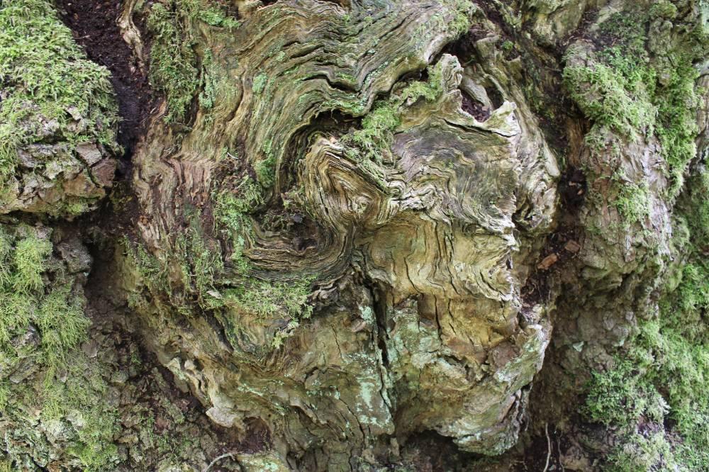Puu muster