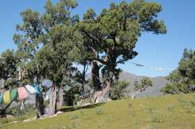 Reting Forest: Solitary trees in 4450m, with prayer flags extended between them.