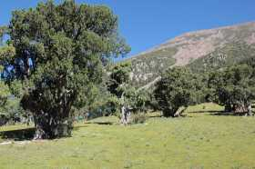 Old, multi-stemmed solitary trees in 4450m, with prayer flags extended between them.