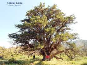 The Grandfather Juniper, Juniperus deppeana